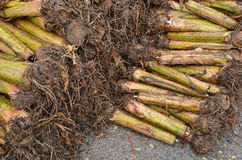 Banana rootstock. Preparing for growth in a farm Royalty Free Stock Photo