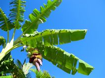 Banana's growing on tree 1 Royalty Free Stock Photography