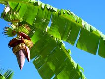 Banana's growing on tree Stock Images