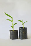 Banana seedlings on white background. Tissue cultured banana seedlings ready for planting. Banana seedlings produced stock photography