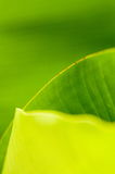 Banana Sheet.(Musa Basjoo) Royalty Free Stock Image