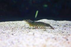 Banana shrimp Stock Photo