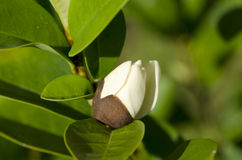 Banana shrub, Dwarf chempaka Stock Photography