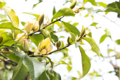 Free Banana Shrub Flower Stock Photos - 66396373