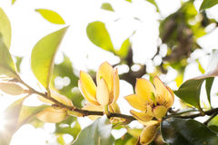 Banana shrub flower Stock Photos