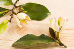 Banana shrub flowers Stock Images