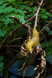 Banana slug Royalty Free Stock Photography