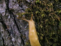 Banana Slug. Is a common name for three North American species of terrestrial slug in the genus Ariolimax. These slugs are often yellow in color and are Royalty Free Stock Image