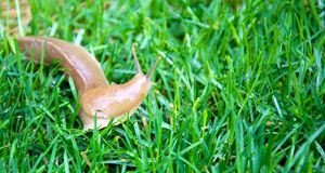 Banana slug on grass Stock Photo
