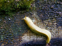 Banana slug Stock Images
