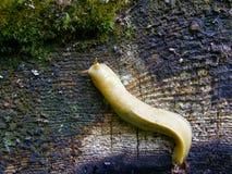 Banana slug. On a log Stock Images
