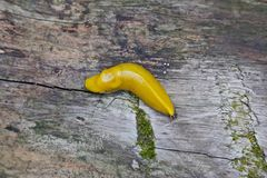Banana slug Royalty Free Stock Photos