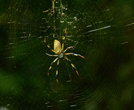 Banana spider. Seen in Floirida stock images