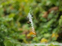 A Banana Spider Spins It Silk Orb Web. A Banana Spider is actually three different spiders. Only the Brazilian wandering is poisonous. The silk-orb, shown here royalty free stock photos