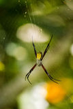 Banana Spider - Argiope appensa. A picture of a black & yellow Argiope appensa in the middle of a spider web Royalty Free Stock Images