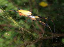Banana Spider. A female Nephila clavipe, commonly known as a banana spider, can be readily recognized by the presence of distinctive feathery tufts or gaiters on stock photos