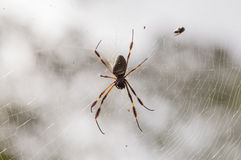 Banana Spider. A Golden Silk (Banana) Spider resting on it's web royalty free stock photography