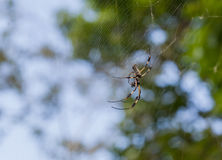 Banana Spider. A Golden Silk (Banana) Spider resting on it's web royalty free stock photos