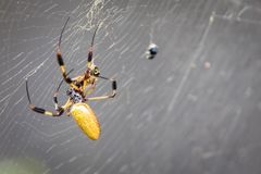 Banana Spider. A banana spider in her web royalty free stock photos
