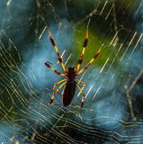 Banana Spider at Home in its Web stock photography