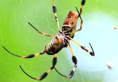 Banana spider. Huge Brazilian Wandering Spider eating a large beetle stock photo