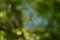 Banana Spider. A banana spider on its web, macro taken with telephoto lens stock photos