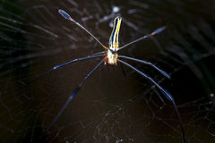 Banana Spider. With its woven web stock photos