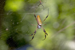 Banana Spider. Large Banana spider on its web stock photos