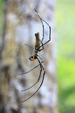 Banana Spider. This banana spider is the size of a persons hand stock photos