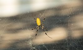 Banana Spider in South Carolina. On a very large web royalty free stock photography
