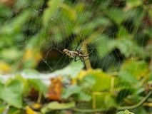 A Banana Spider Spins It Silk Orb Web. A Banana Spider is actually three different spiders. Only the Brazilian wandering is poisonous. The silk-orb, shown here stock photo