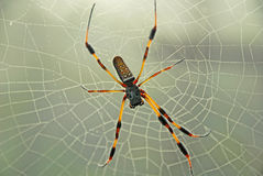 Banana spider on web Royalty Free Stock Photography