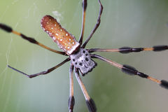 Banana spider on web closeup. Macro closeup of banana spider on its web stock photos