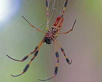 Banana spider on web. Banana spider or golden silk orb-weaver stock image