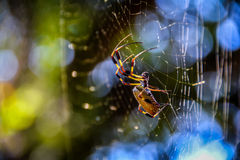 Banana spider in the web. Hilton Head Island spiders, big as your palm, but not venomous. Banana spider, insect of South Carolina nature, blue and green blurry royalty free stock photography