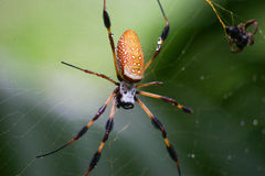 Banana Spider Golden Orb Weaver. Banana spider also called Golden Silk spider on a web with meal royalty free stock image