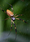 Golden Silk spider or Banana spider. Golden Silk spider often called a Banana spider sitting on a web rainy day closeup Royalty Free Stock Images