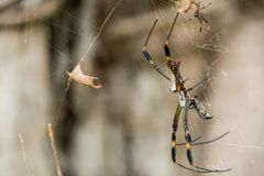 Banana Spider in a Web. A banana spider sits in its web royalty free stock images