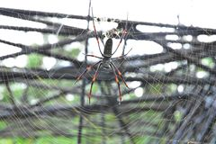 Banana spiders or golden orb-weavers  live in warmer area on the big tree stock images
