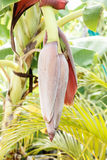 The banana stalk pith Stock Images
