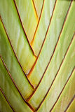 The banana stem Royalty Free Stock Photos