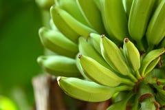 Banana sull'albero Fotografia Stock Libera da Diritti