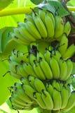 Banana sull'albero Immagini Stock Libere da Diritti