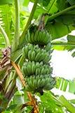 Banana sull'albero nel giardino Fotografia Stock