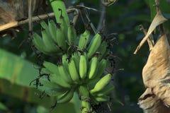 Banana Tailandia Fotografia Stock