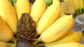Banana with toad relexing stock video footage