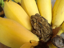 Banana with toad relexing Stock Photo
