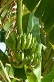Banana on tree Royalty Free Stock Photos