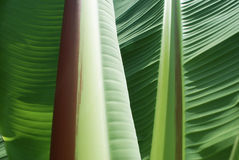 Banana tree. Big bright green leaves close-up Royalty Free Stock Photography