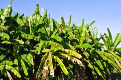 Banana tree Stock Images